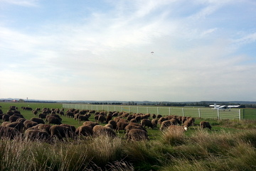 mouton-aérodrome
