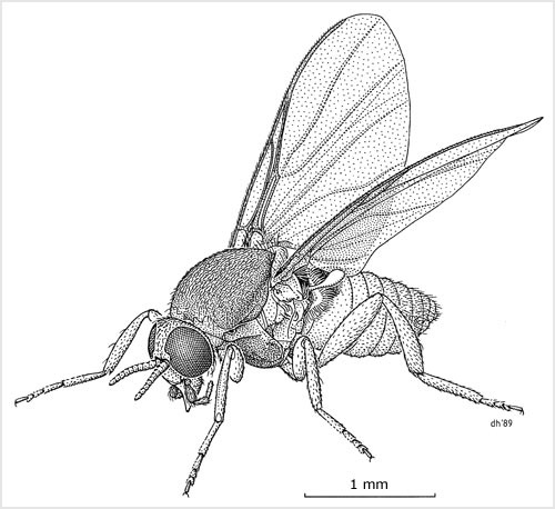 dessin-sandfly
