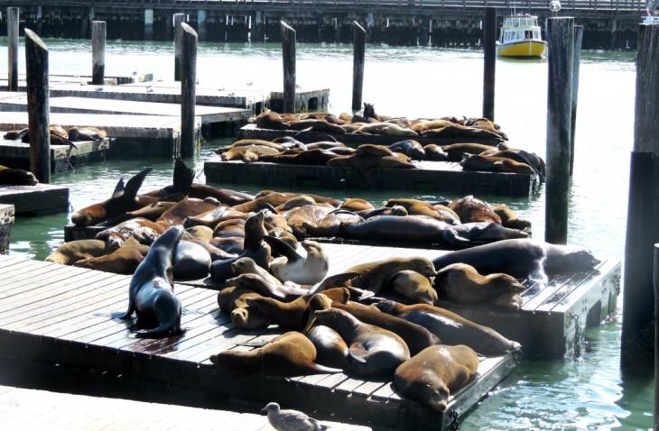 lion de mer - fisherman-wharf